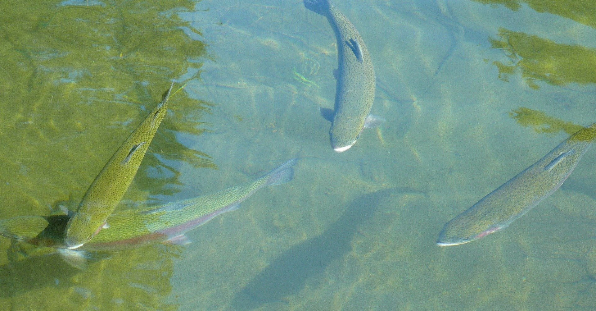 Rainbow Trout Elko Nevada